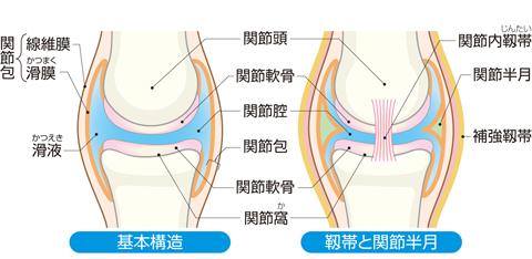 関節の構造(可動結合)