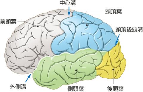 大脳半球外側面