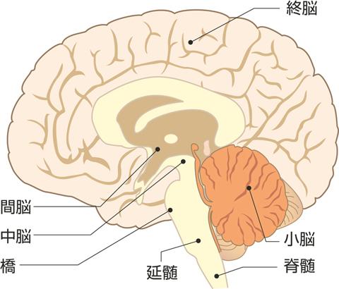 脳の区分(正中断像)