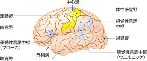 大脳皮質にある機能の局在(諸中枢)
