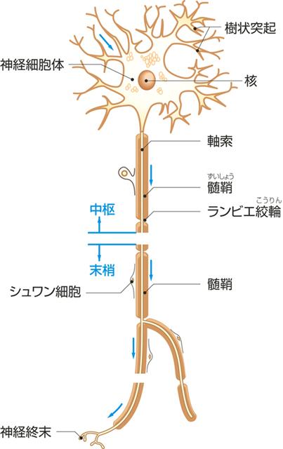 神経組織の構造