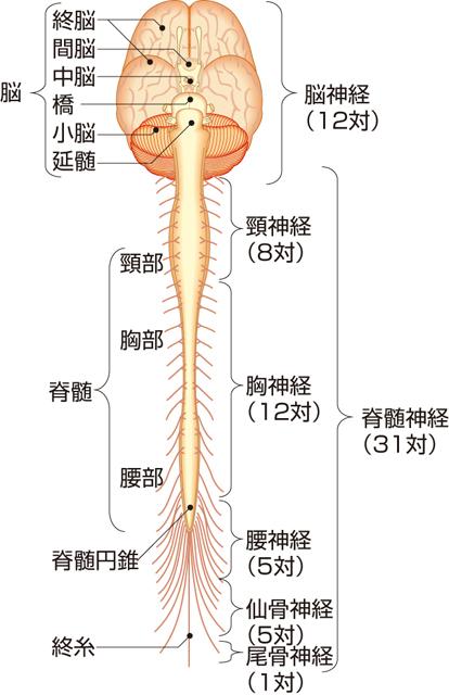 神経系(中枢神経系と末梢神経系)