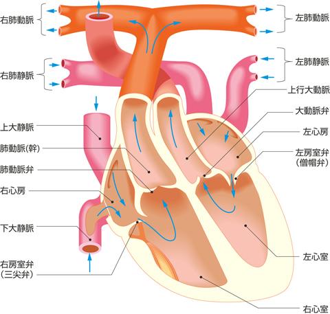 心臓の内腔と血液の流れ