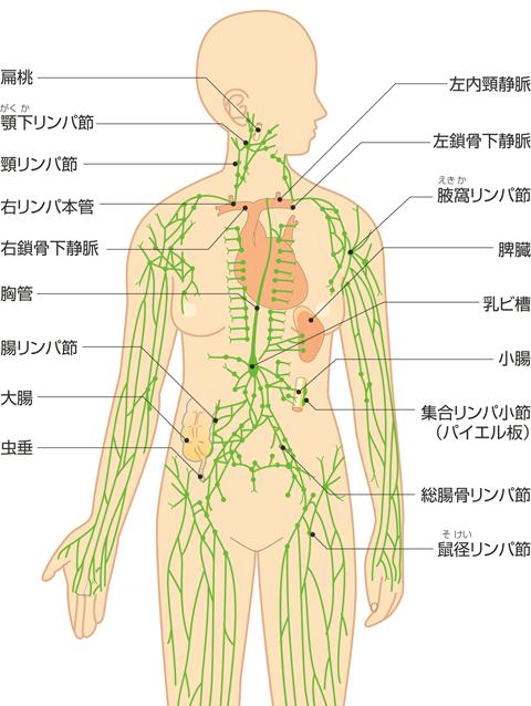 主要なリンパ節とリンパ系