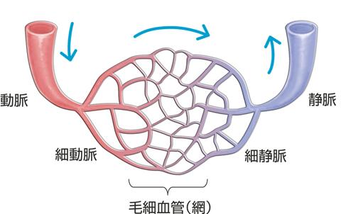 動脈・静脈・毛細血管