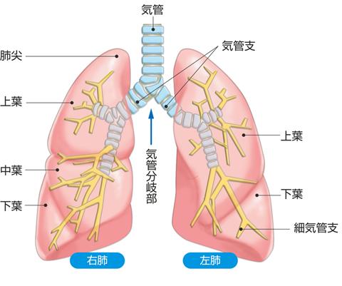 気管・気管支・肺