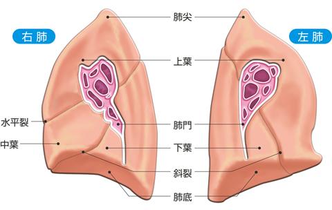肺の内側面