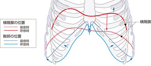 呼吸運動(胸腔の拡大と縮小)