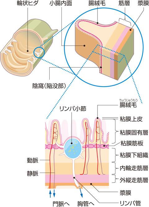 小腸の粘膜