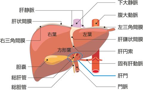 肝臓の前面