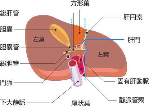 肝臓の下面