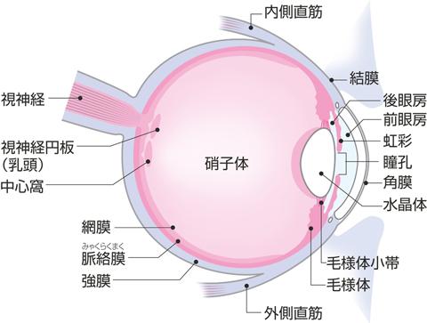 眼球水平断(右側)