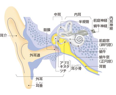 耳の前頭断(平衡聴覚器)