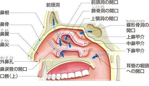 副鼻腔への開口部