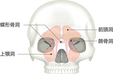副鼻腔の投影
