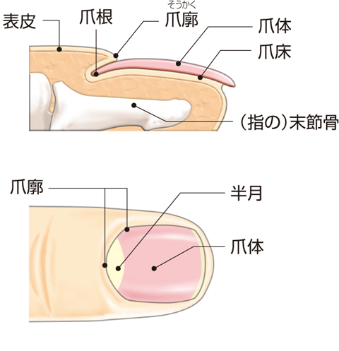 皮膚の付属器