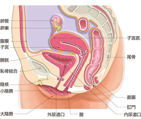 女性骨盤の断面