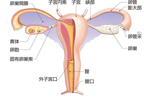 女性生殖器の全景