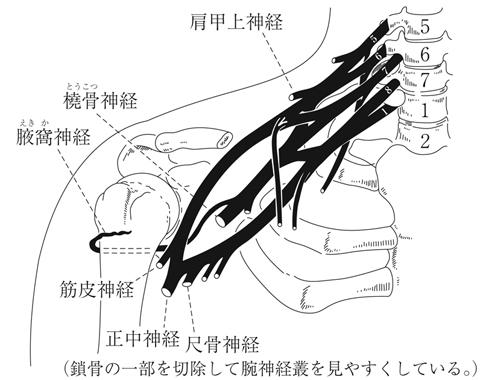 分娩麻痺(運動器系の病気(外傷を含む)|周産期の病気)とは - 医療総合QLife
