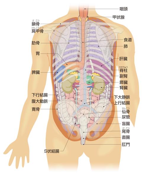 体幹の臓器│からだのしくみを調べる - 医療総合QLife