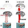 脳科学から見る「やる気」の効果。運動能力の回復における「やる気」の影響を調査