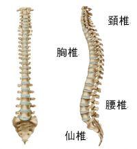 正常な脊柱